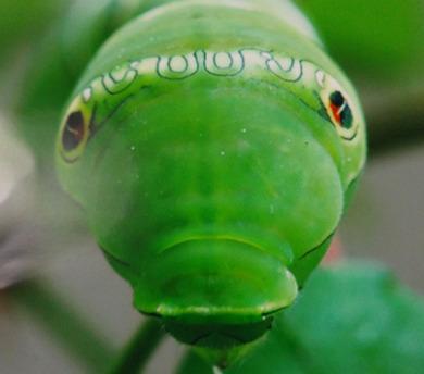 幼虫の顔.jpg